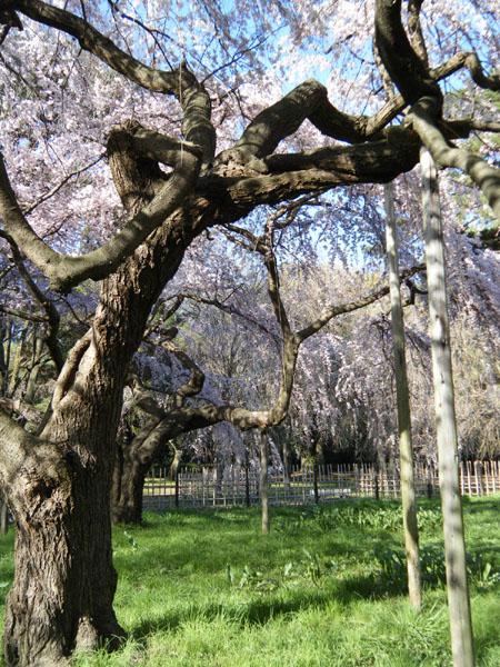 桜の木の満開の下