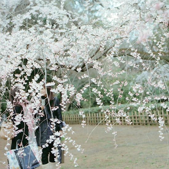 桜のカーテン/糸桜