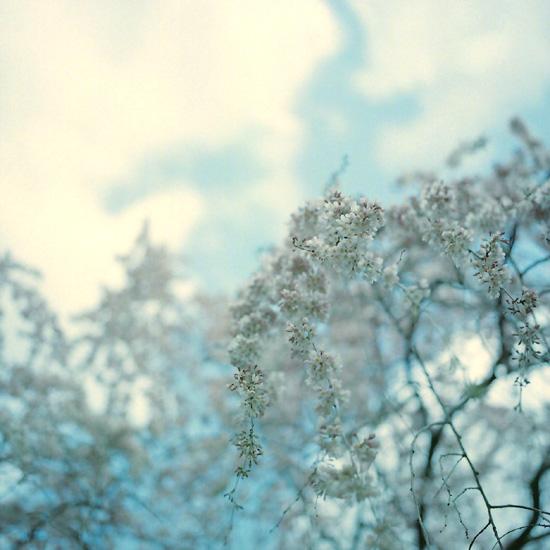 真四角糸桜