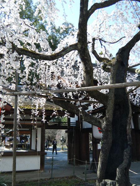 魁桜/平野神社