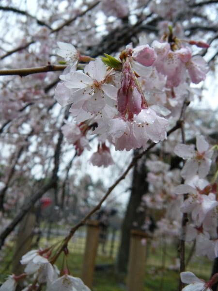 雨の枝垂れ桜