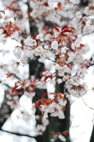山桜/平野神社