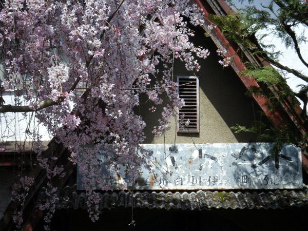 銀月アパートメントの枝垂れ桜