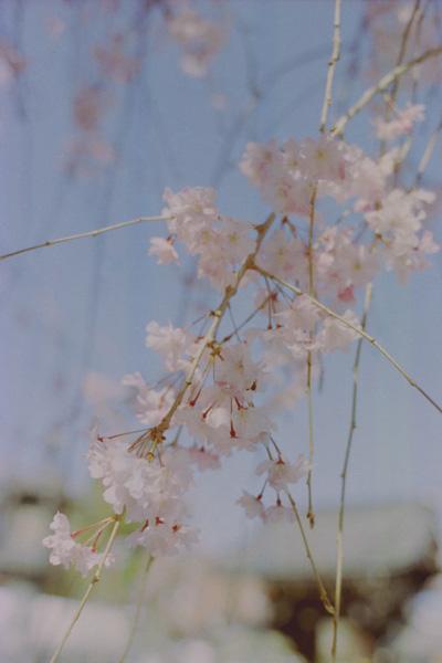 仏光寺・枝垂れ桜