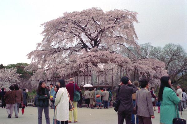 円山公園、十数年前。