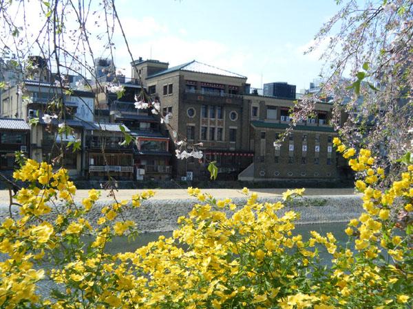 鴨川べりの黄