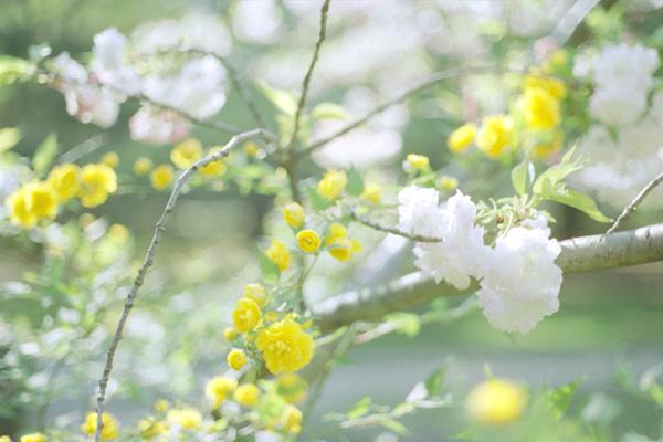 八重桜と山吹