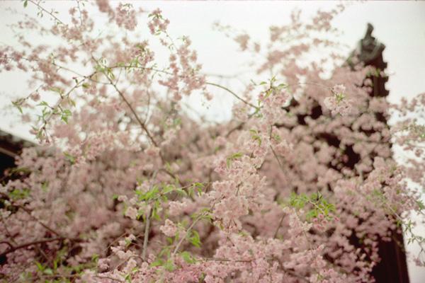 立本寺/枝垂れ桜