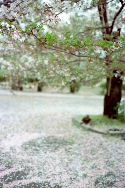桜散る/立本寺