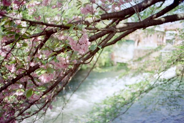 八重桜・夷川ダム