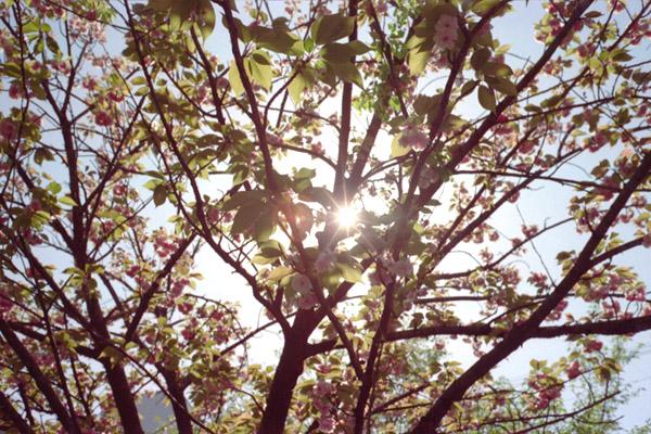 八重桜・逆光