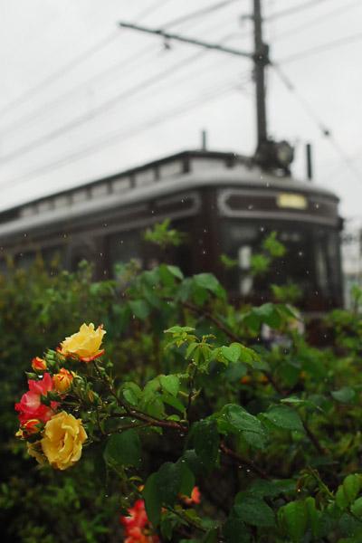 薔薇と嵐電