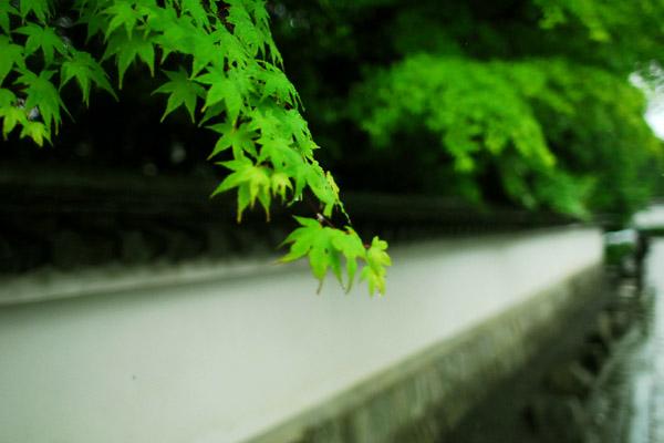 新緑/妙心寺境内