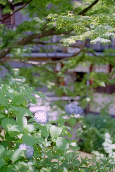 白川/紫陽花