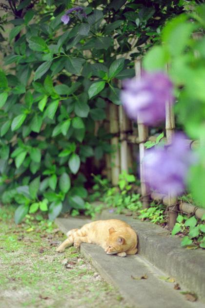 紫陽花とチャトラ猫。