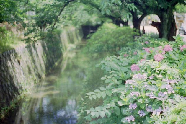 紫陽花/疎水