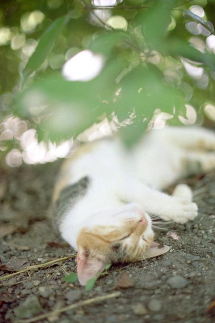 ゴロゴロ三毛猫