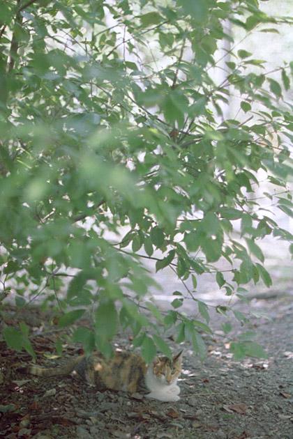 木陰の三毛猫