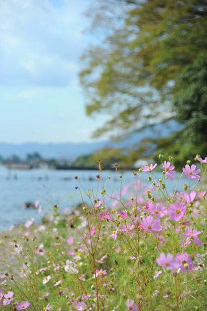 湖岸のコスモス