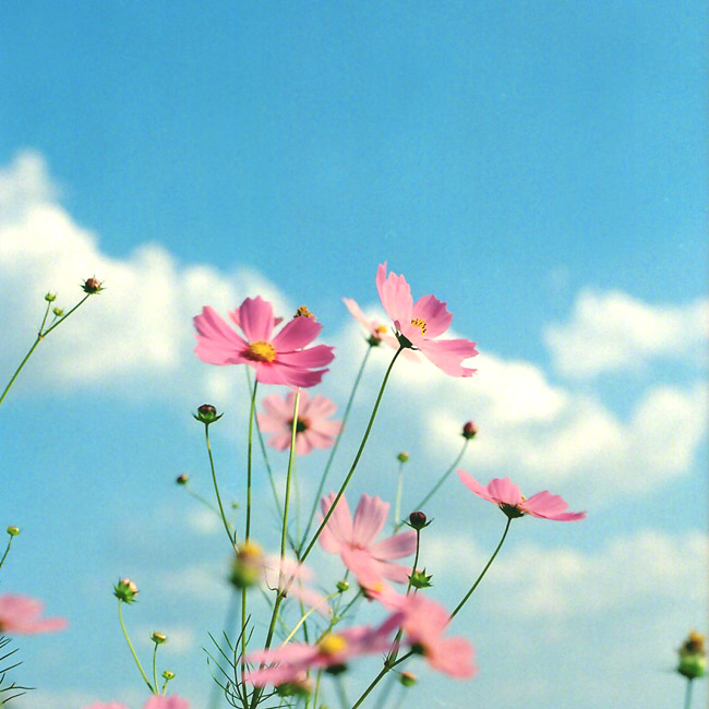 コスモスの花びら