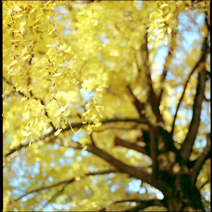 金色/銀杏