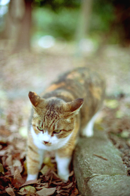 三毛猫カモン