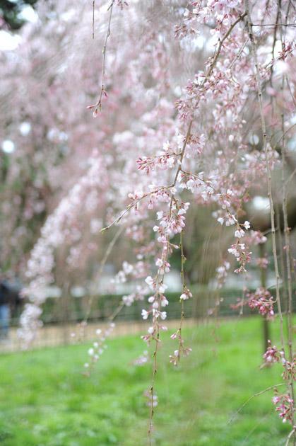 枝垂れ桜/旧近衛邸跡