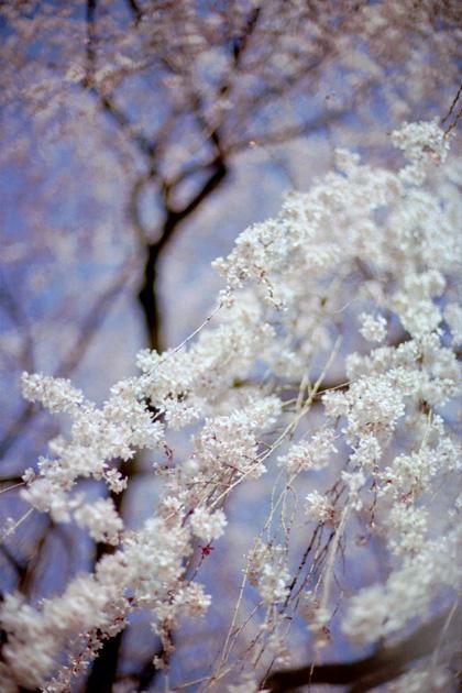 満開枝垂れ桜/本満寺