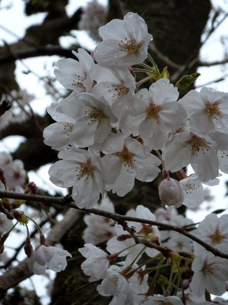今日の桜/雨