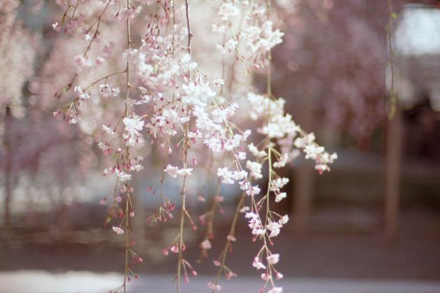 春/仏光寺境内