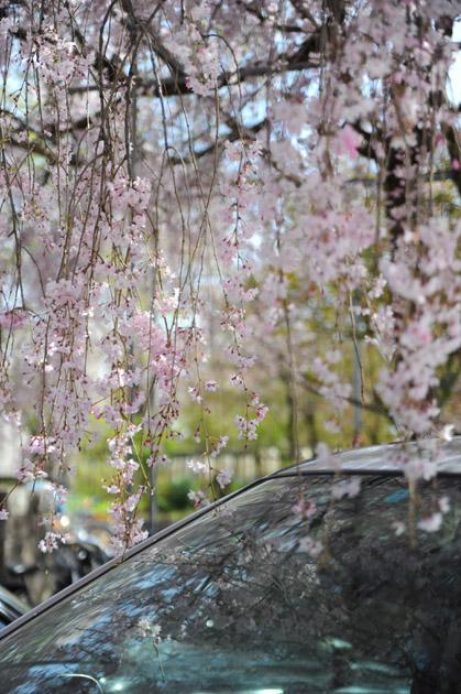 桜のカーテン/平野神社