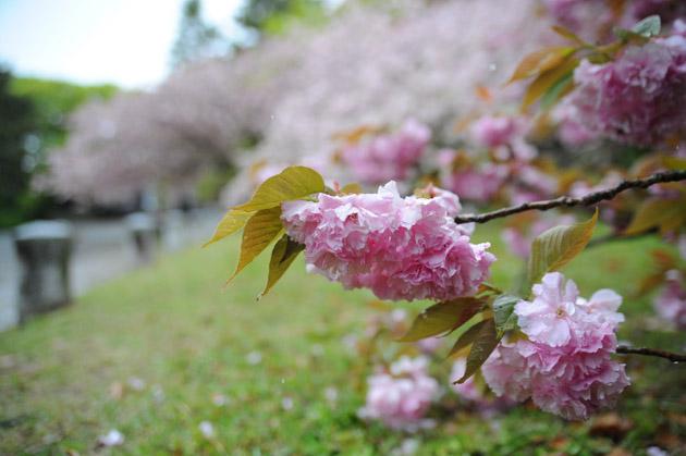 雨の八重桜