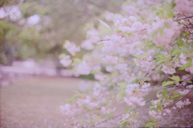 淡影八重桜