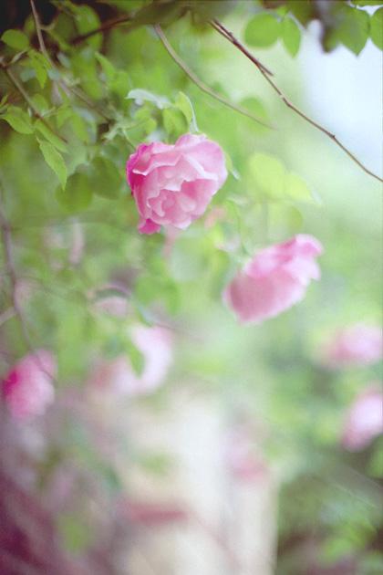 薔薇ハイキー