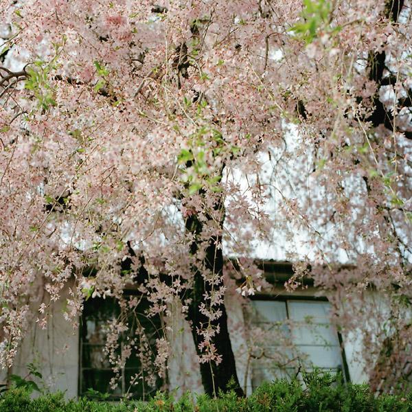 枝垂れ桜/銀月アパートメント