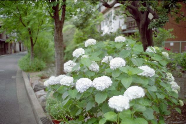 紫陽花/五条楽園
