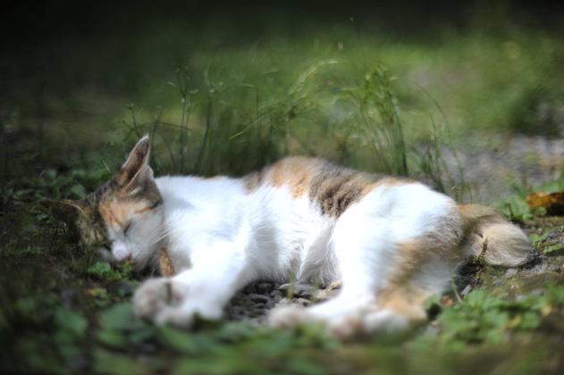 熟睡三毛猫