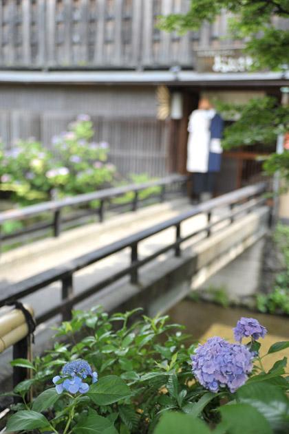 紫陽花/白川