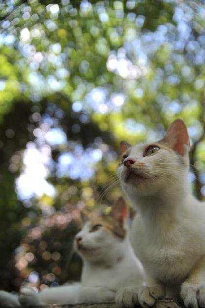 ダブル三毛猫