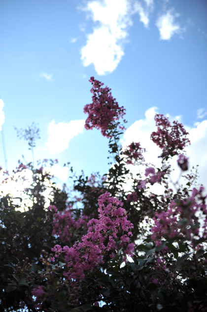 夏空と百日紅