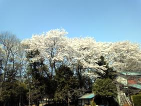 埼玉県 狭山市 行政書士 社会保険労務士 事務所 桜