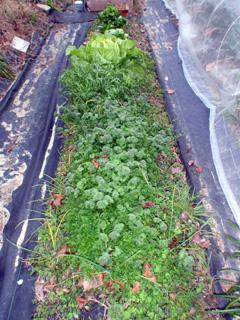 ガーデニング風不耕起栽培の畑 2009-01-07 16-17-48