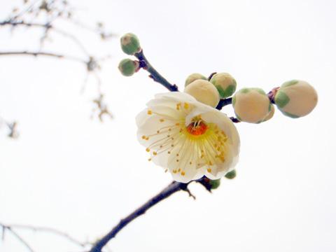 梅は咲いたか~♪