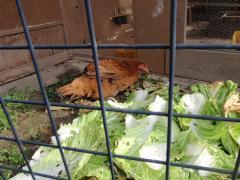 虫つき白菜に喜ぶヘンリエッ