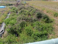 里芋の畝はホトケノザの森に