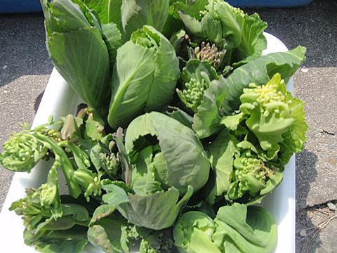 キャベツの菜の花