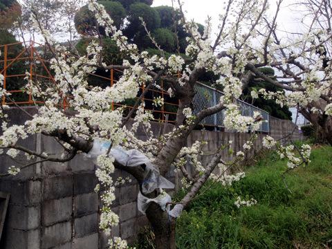 スモモの花が満開~(^^)