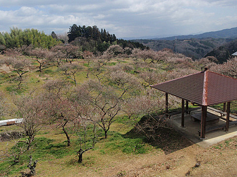 ここら辺一帯に梅の木がいっ