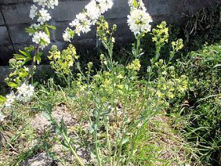 キャベツの菜の花をコンパニ