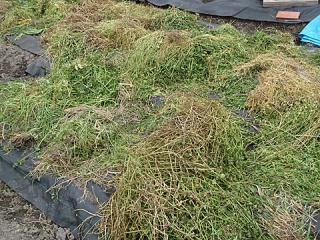 干草を作っています(笑)